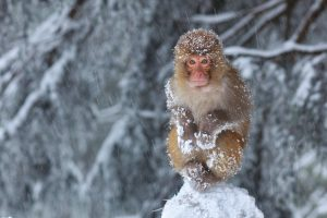 Snow Covered Monkey