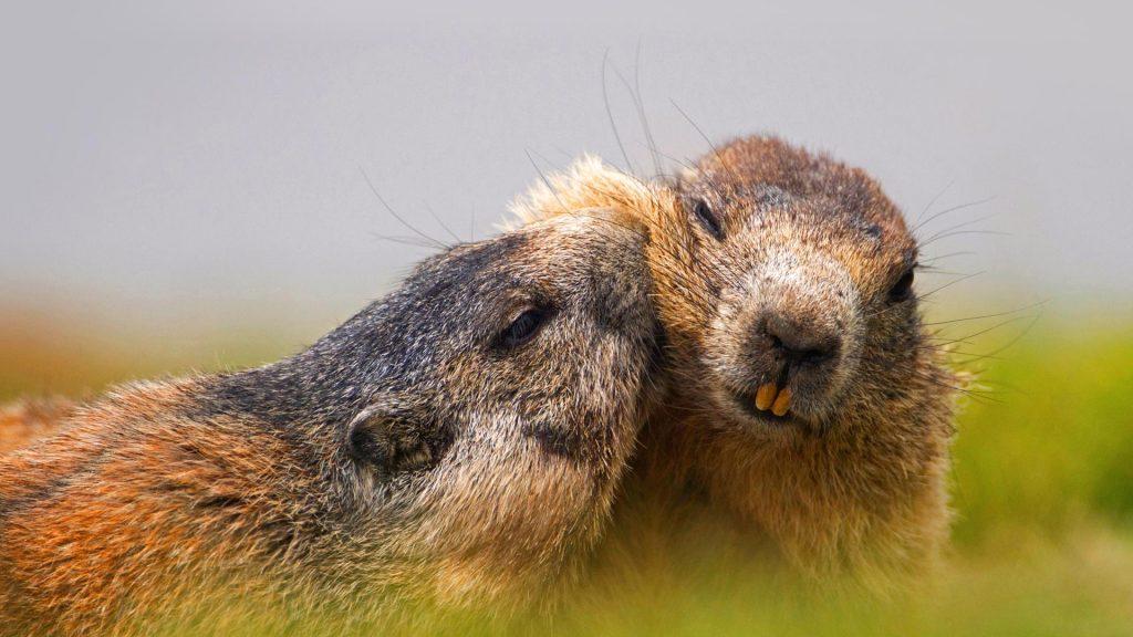 Austrian Alpine Marmots