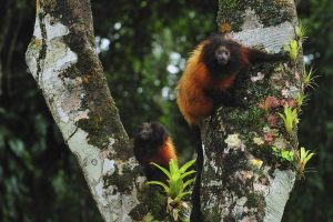 Black Faced Tamarin