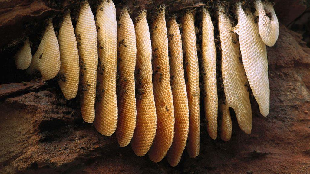Brazil Honey Bee
