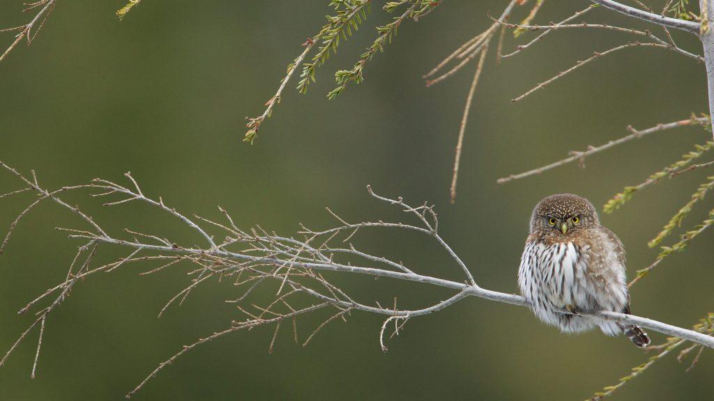 Cypress Pygmy Owl