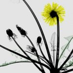 Dandelion Xray