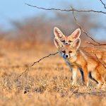 Desert Foxes India