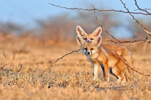 Desert Foxes India