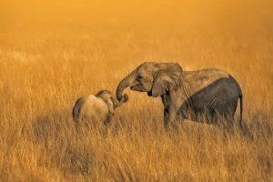 Elephant Sibs