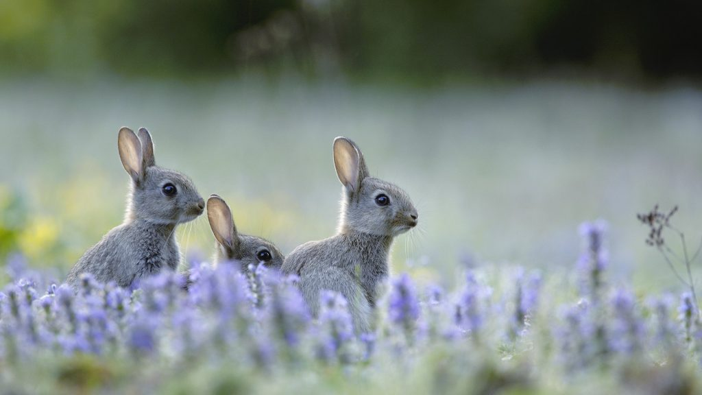 European Rabbits2