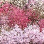 Hanamiyama Cherry