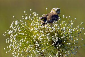 Jalapao Owl