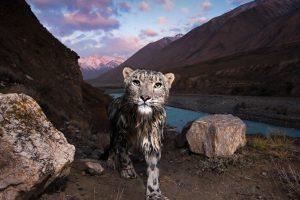 Kyrgyzstan Cat