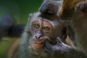 Longtailed Macaque