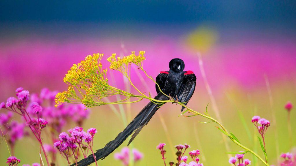 Longtailed Widowbird