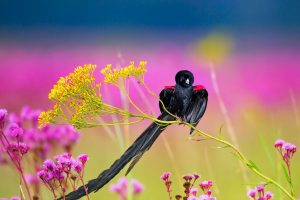 Longtailed Widowbird