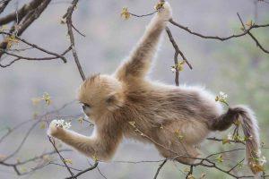 MonkeyGolden
