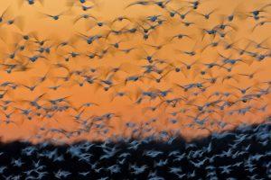 Montezuma Snow Geese