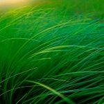 Moose Lake Grass