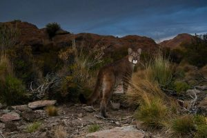 Mountain Cougar