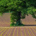 Oak Tree Maize