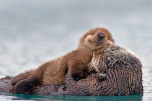 PW Sea Otter Pup