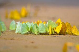 Pantanal Butterflies