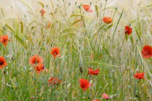 Provence Poppiesfield