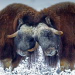 Prudhoe Ox