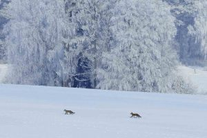 Red Foxes Snow