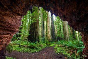Redwoods Jedediah