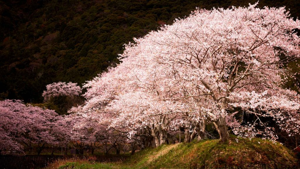 Sakura Spotlight