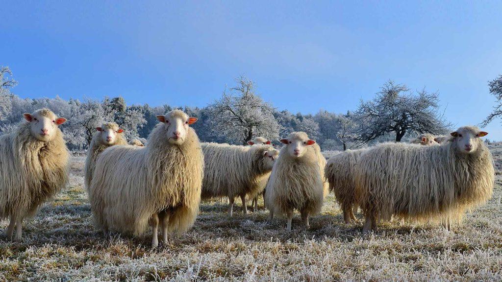 Schafe Spessart