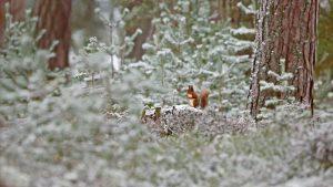 Scotland Squirrel