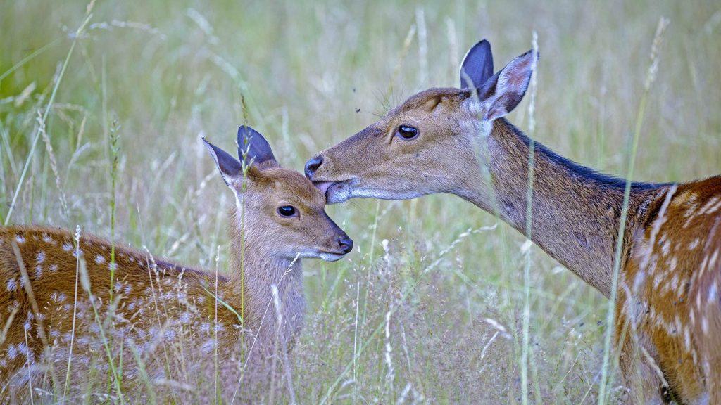 Sika Deer Female