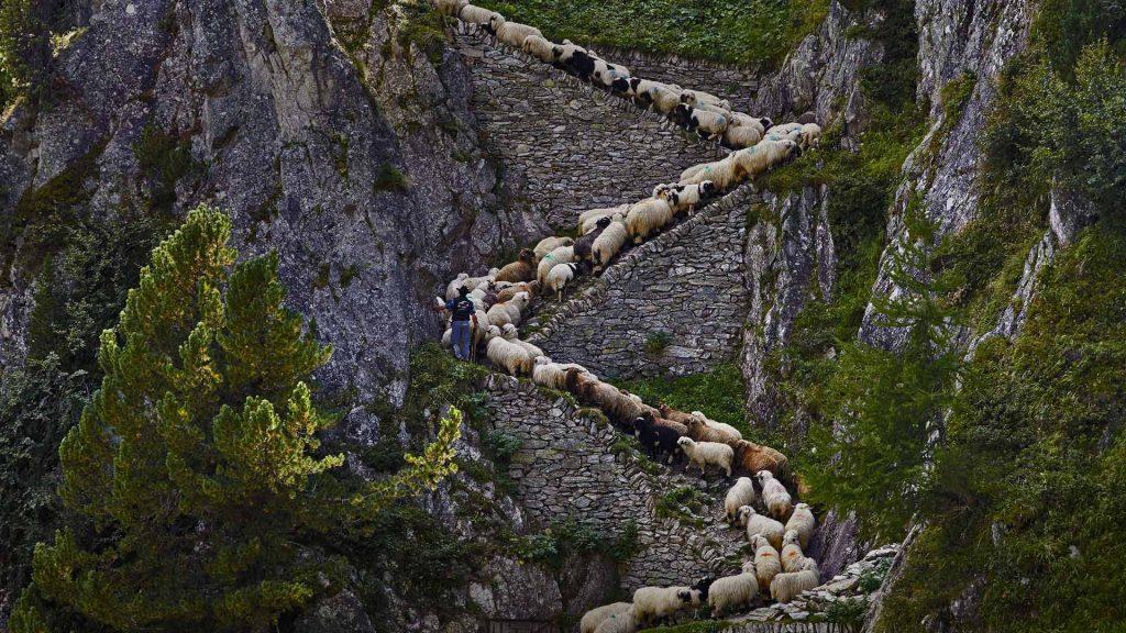 Steep Sheep