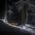 Swiss Fox Snow
