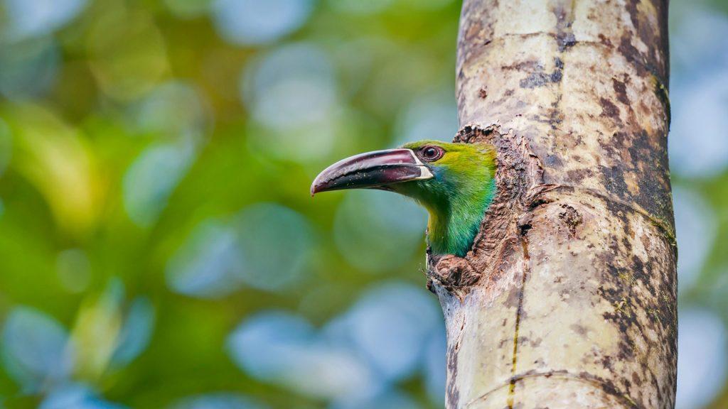 Toucanet Ecuador