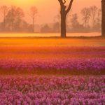 Tulips Equinox