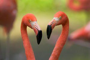Valentines Flamingos