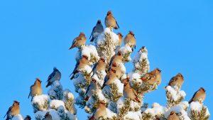 Waxwing Flock