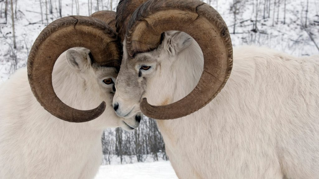 Yukon Sheep