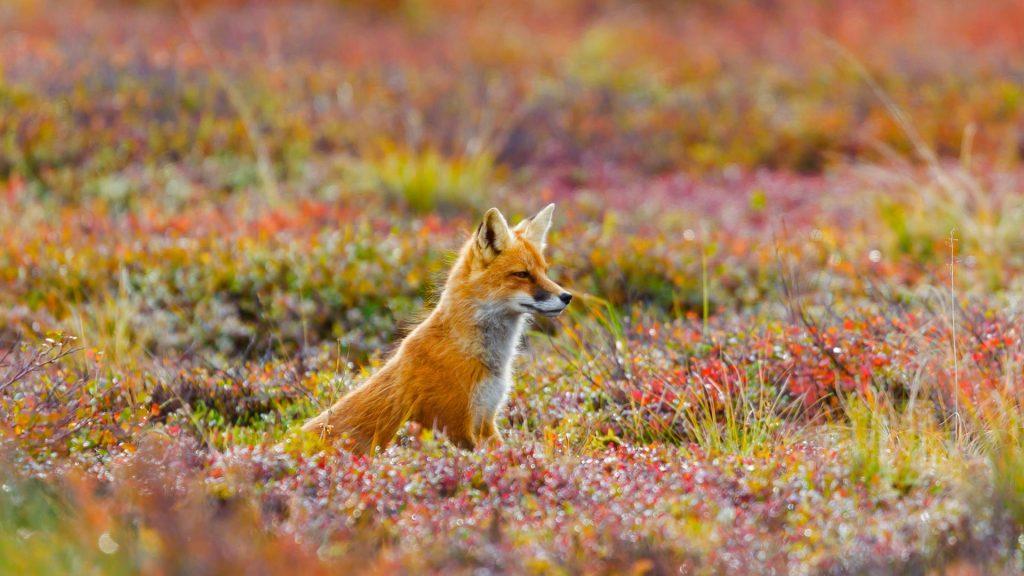 AK Fox