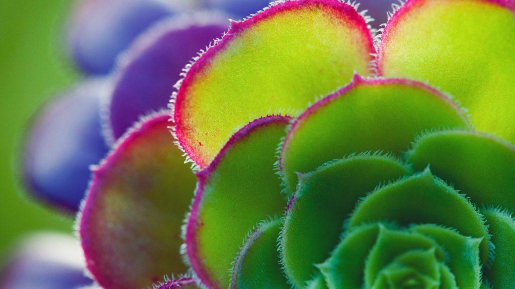 Aeonium Leaf