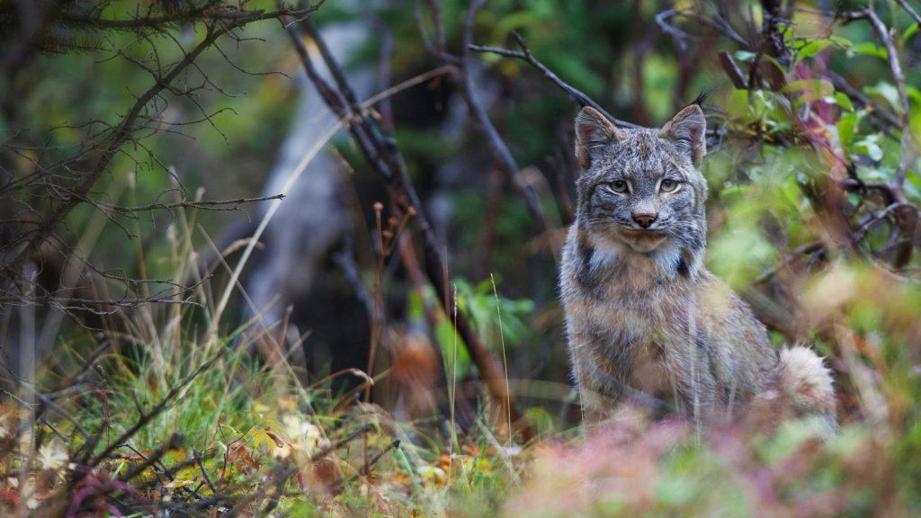 Alaska Lynx