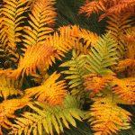 Autumn Frond