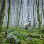 Derbyshire Sheep