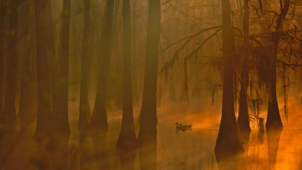 Ducks Swamp