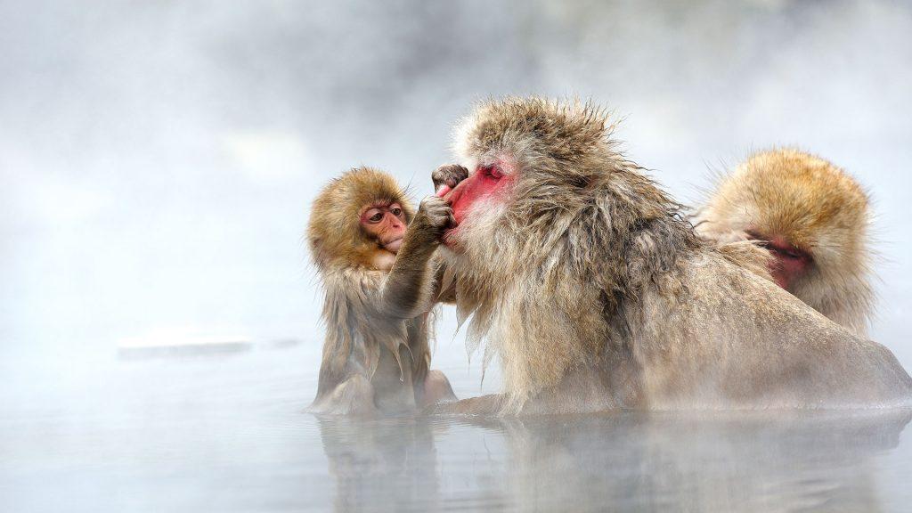 Elder Monkey
