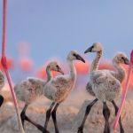 Flamingo Cousins