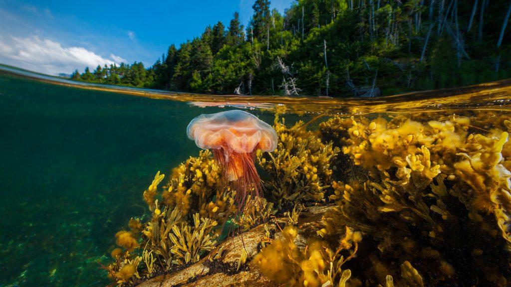 Gros Morne Jellyfish
