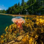 Gros Morne Jellyfish