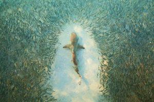 Heron Island Shark