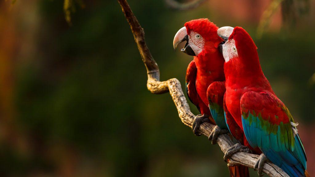 Macaws Kissing